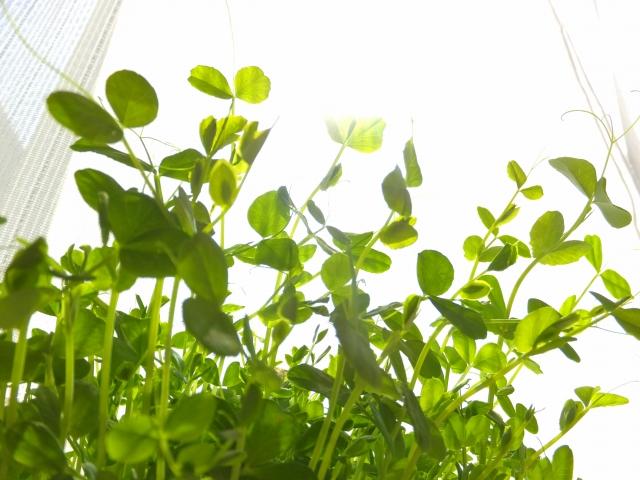 必見!残った野菜から野菜を作る?再生野菜の作り方で節約生活